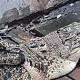 Heboh! Warga Tambora Dikejutkan Kemunculan Buaya di Selokan